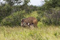 Αντιλόπη με το παιδί μέσα στο πάρκο Kruger Στοκ Φωτογραφίες
