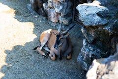 Αντιλόπη που στηρίζεται στη σκιά στο ζωολογικό κήπο Στοκ Φωτογραφίες