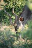 Αντιλόπη στη Νότια Αφρική Στοκ φωτογραφία με δικαίωμα ελεύθερης χρήσης