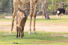 Αντιλόπη Nyala (angasii Tragelaphus) στο ζωολογικό κήπο Στοκ φωτογραφία με δικαίωμα ελεύθερης χρήσης