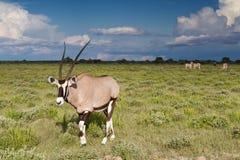 Αντιλόπη Oryx στο εθνικό πάρκο Etosha Στοκ Εικόνες
