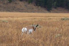 Αντιλόπη Pronghorn buck στο λιβάδι Στοκ Φωτογραφίες