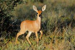 Αντιλόπη Steenbok Στοκ Φωτογραφία