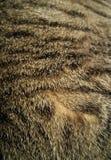 Ανόητη τιγρέ γούνα Στοκ φωτογραφίες με δικαίωμα ελεύθερης χρήσης