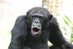 Ανόητος θορυβώδης χιμπατζής που κάνει τα μέρη των θορύβων στοκ εικόνα με δικαίωμα ελεύθερης χρήσης