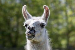 Ανόητος λάμα που τραβά το πρόσωπο Αστεία llama ζωική κολλώντας γλώσσα έξω Στοκ Εικόνες