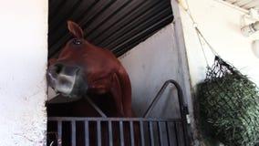 Ανόητο νέο thoroughbred άλογο αγώνων στο στάβλο σιταποθηκών φιλμ μικρού μήκους