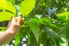Ανώνυμο σχίζοντας πορτοκάλι χεριών προσώπων από το δέντρο Στοκ φωτογραφία με δικαίωμα ελεύθερης χρήσης