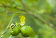 ανώριμα πορτοκάλια προγρ&al Στοκ Φωτογραφίες