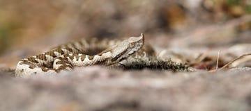 Ανώριμα ammodytes vipera Στοκ Εικόνα