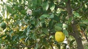 ανώριμη λεμόνι/φρούτα/λουλούδι/συγκομιδή/δενδροκηποκομία/γεωργία/cultiva απόθεμα βίντεο