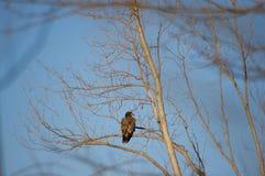 Ανώριμη φαλακρή πέρκα αετών Στοκ φωτογραφίες με δικαίωμα ελεύθερης χρήσης