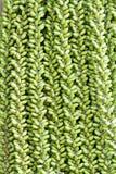 Ανώριμο betel - καρύδι Στοκ Εικόνα