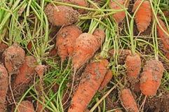 ανώτατο λαχανικό καρότων Στοκ εικόνα με δικαίωμα ελεύθερης χρήσης