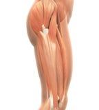 Ανώτερη ανατομία μυών ποδιών απεικόνιση αποθεμάτων