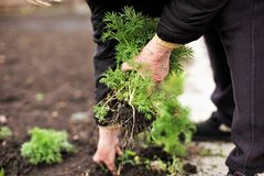 Ανώτερη γυναίκα που κρατά νέες πράσινες εγκαταστάσεις στα χέρια στα πλαίσια ενός επίγειου φυτικού κήπου στοκ φωτογραφία