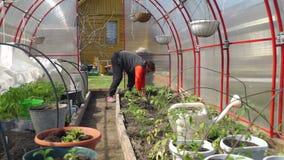 Ανώτερη γυναίκα που φυτεύει τις ντομάτες στο έδαφος απόθεμα βίντεο