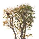 Ανώτερος - δέντρο που απομονώνεται μισό Στοκ φωτογραφία με δικαίωμα ελεύθερης χρήσης