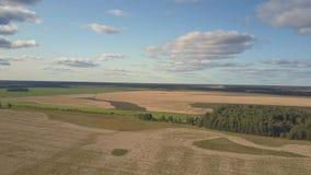 Ανώτερος τομέας σίτου άποψης ατελείωτος με το μικρό πράσινο δάσος απόθεμα βίντεο