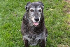 Ανώτερο σκυλί στο πάρκο Στοκ φωτογραφίες με δικαίωμα ελεύθερης χρήσης