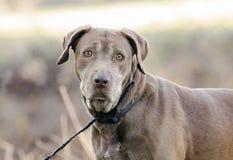 Ανώτερο Retriever του Λαμπραντόρ σοκολάτας σκυλί Στοκ Φωτογραφίες
