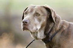 Ανώτερο Retriever του Λαμπραντόρ σοκολάτας σκυλί Στοκ φωτογραφία με δικαίωμα ελεύθερης χρήσης