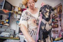 Ανώτερο seamstress που μετρά το στήθος του σκυλιού Στοκ Φωτογραφίες