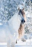 Ανδαλουσιακό άσπρο χειμερινό πορτρέτο αλόγων Στοκ Εικόνα