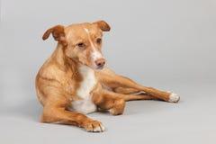 Ανδαλουσιακό κυνηγόσκυλο Στοκ φωτογραφία με δικαίωμα ελεύθερης χρήσης