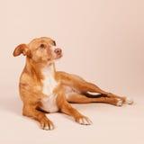 Ανδαλουσιακό κυνηγόσκυλο Στοκ Εικόνες