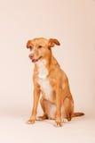 Ανδαλουσιακό κυνηγόσκυλο Στοκ Φωτογραφία
