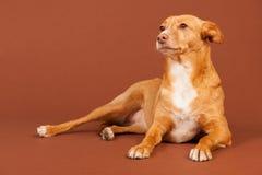 Ανδαλουσιακό κυνηγόσκυλο Στοκ Φωτογραφίες