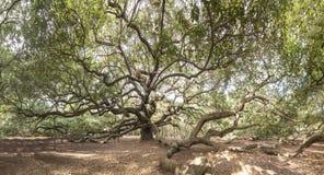 Απέραντο ζωντανό δρύινο δέντρο Στοκ Φωτογραφία