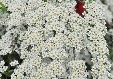 Απίστευτα άφθονος ανθίζοντας θάμνος του άσπρου spiraea στοκ εικόνες