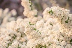 Απίστευτα άφθονος ανθίζοντας θάμνος του λευκού σαν το χιόνι spiraea στοκ εικόνες