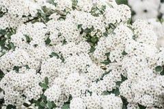 Απίστευτα άφθονος ανθίζοντας θάμνος του λευκού σαν το χιόνι spiraea άσπροι λεπτοί πολύβλαστοι κλάδοι των άσπρων λουλουδιών στοκ εικόνες