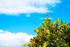Απίστευτα γλυκά πορτοκάλια στο χειμώνα και μπλε ουρανός σε Kemer, Τουρκία Στοκ Εικόνες