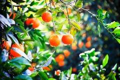 Απίστευτα γλυκά πορτοκάλια στο χειμώνα σε Kemer, Τουρκία Στοκ Εικόνες