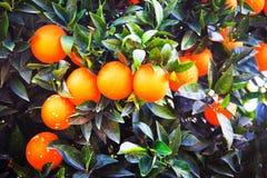 Απίστευτα γλυκά πορτοκάλια στο χειμώνα σε Kemer, Τουρκία Στοκ φωτογραφίες με δικαίωμα ελεύθερης χρήσης