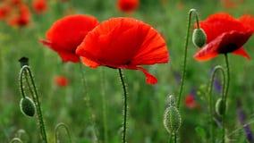 Απίστευτα όμορφα λουλούδια παπαρουνών απόθεμα βίντεο
