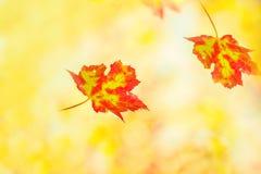 Απίστευτα όμορφα φωτεινά φύλλα του σφενδάμνου φθινοπώρου σε ένα ηλιόλουστο πάρκο φθινοπώρου Φωτογραφία τέχνης στοκ φωτογραφίες