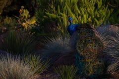 Απίστευτος πυροβολισμός ενός peacock σε ένα τοπίο ερήμων μεταξύ των βράχων και των Μπους στο ηλιοβασίλεμα στοκ φωτογραφία με δικαίωμα ελεύθερης χρήσης