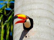 Απίστευτος toucan προστατεύει τη φωλιά σας στοκ φωτογραφία