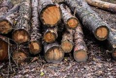 Απανθρακωμένα Cutted πεύκα Νεκρά δέντρα πεύκων μετά από μια δασική πυρκαγιά Στοκ Φωτογραφία