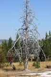 Απανθρακωμένο δέντρο, εθνικό πάρκο Yellowstone, κοντά Geyser παλαιό σε πιστό Στοκ Φωτογραφίες