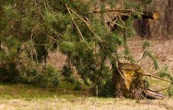 Απανθρακωμένο κολόβωμα δέντρων πεύκων Στοκ εικόνες με δικαίωμα ελεύθερης χρήσης