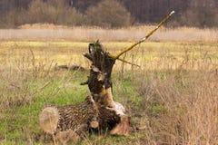 Απανθρακωμένο κολόβωμα δέντρων πεύκων Στοκ εικόνα με δικαίωμα ελεύθερης χρήσης