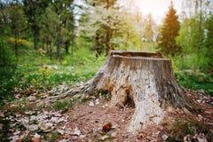 Απανθρακωμένο κολόβωμα δέντρων στο δάσος Στοκ Φωτογραφία