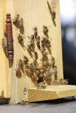 Απασχολημένες μέλισσες μπροστά από την κυψέλη Στοκ Εικόνες