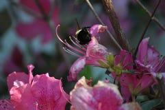 Απασχολημένη μέλισσα 2 Στοκ Εικόνες